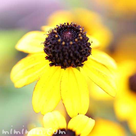 サンビタリアの写真 花言葉