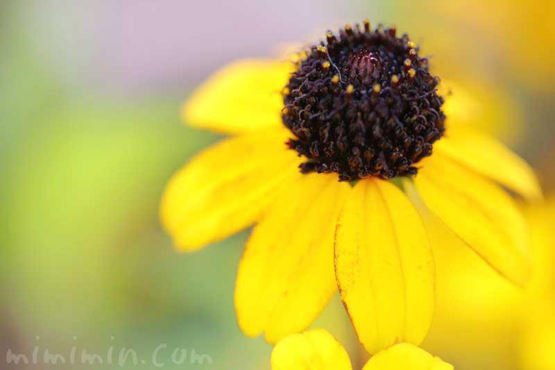 サンビタリアの花の写真 花言葉