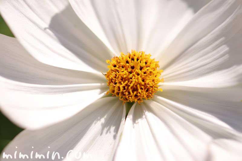 白いコスモスの花の写真