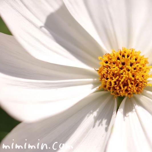 白いコスモスの画像