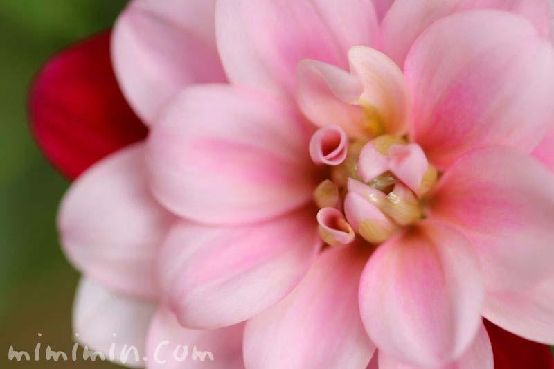 ダリアの花・赤✕ピンクの二色咲きの写真