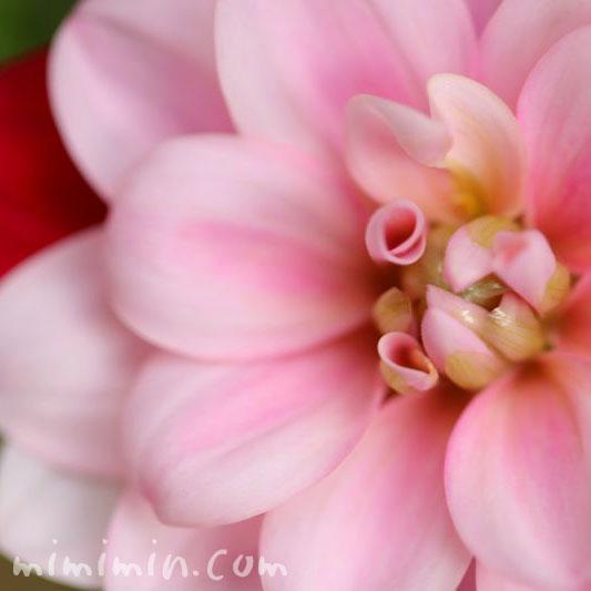 二色咲きのダリアの花の写真