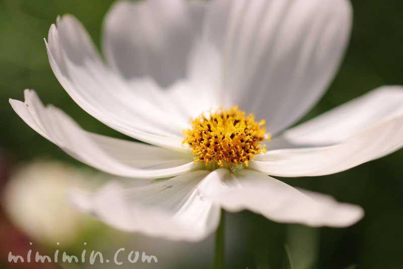白い秋桜の写真