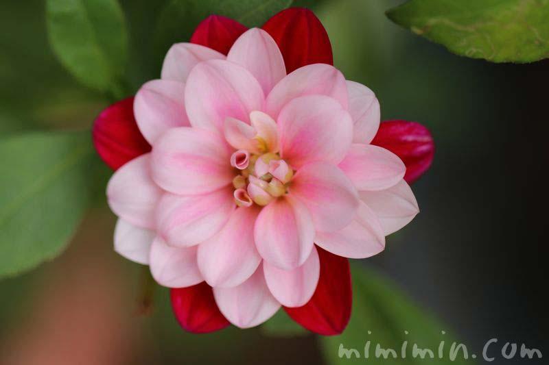 ダリア・二色咲き・赤✕ピンクの画像