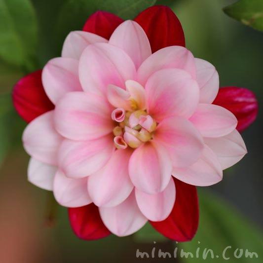 ダリア・二色咲きの画像