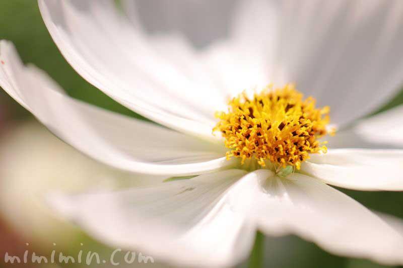 白い秋桜の花の画像