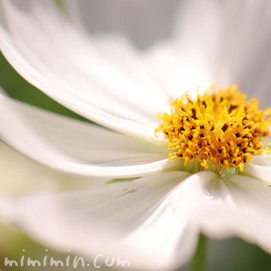 秋桜の花・白の写真