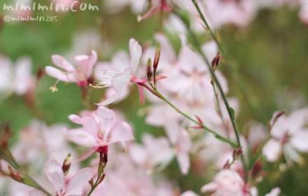 ハクチョウソウ・白蝶草の写真
