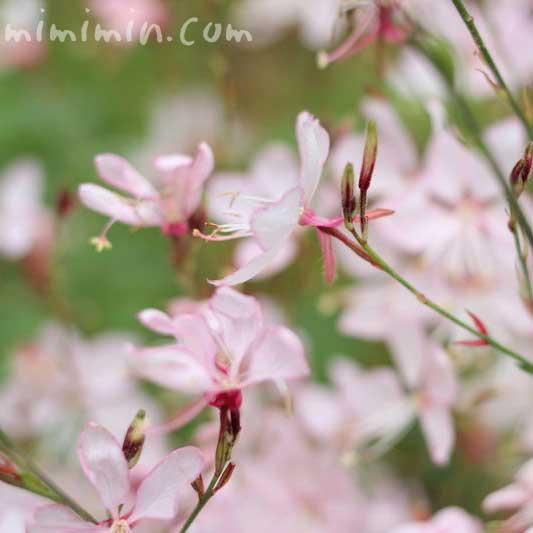 ガウラの花の画像
