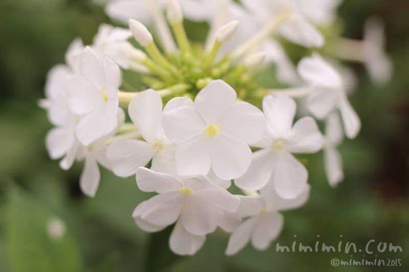 白いフロックス・花魁草の写真
