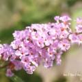 ブッドレア(薄いピンク)の写真