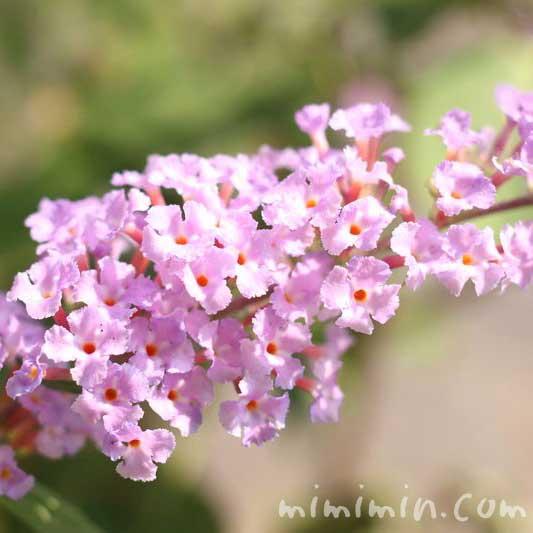 ブッドレアの花(薄いピンク)の画像