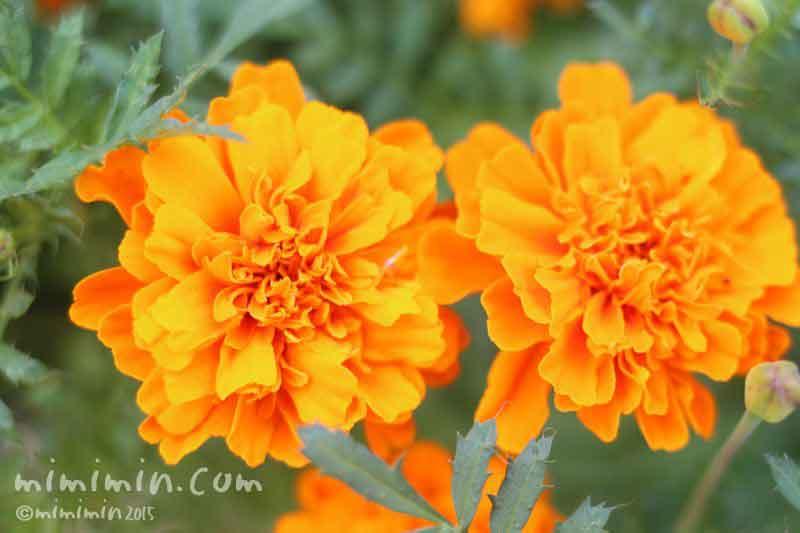 マリーゴールドの花(オレンジ色)の写真
