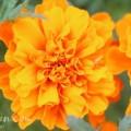 オレンジ色のマリーゴールドの画像