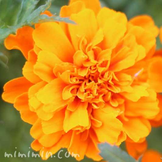 マリーゴールド(オレンジ色)5-11-6-4