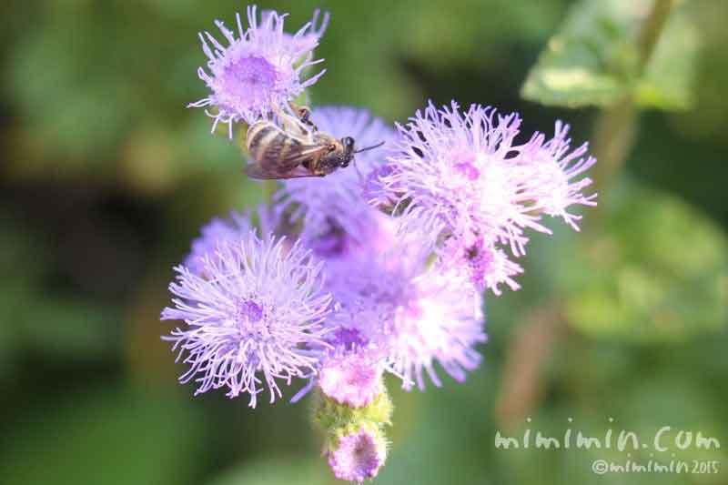 ミツバチとアゲラタムの写真