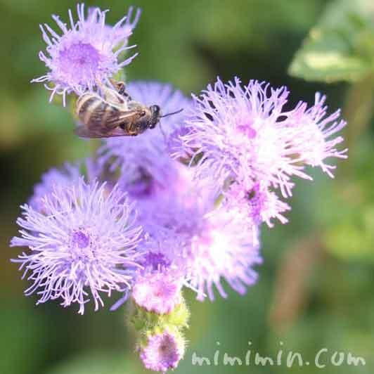 ミツバチとアゲラタムの画像
