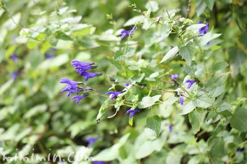 サルビアガラニチカの花の写真と花言葉の画像