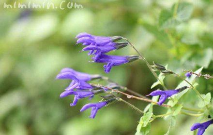 サルビアガラニチカの花言葉の写真