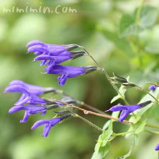 メドーセージの花の写真と花言葉の画像