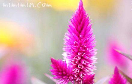 ケイトウ・ピンクの画像