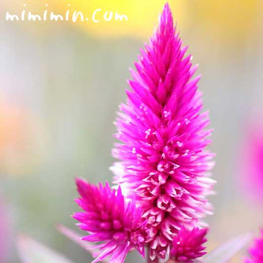 ケイトウの花・ピンクの写真