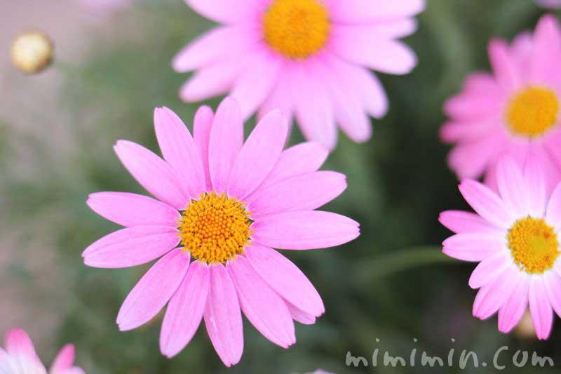 ピンク色のマーガレットの画像