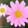 マーガレットの花 ピンク