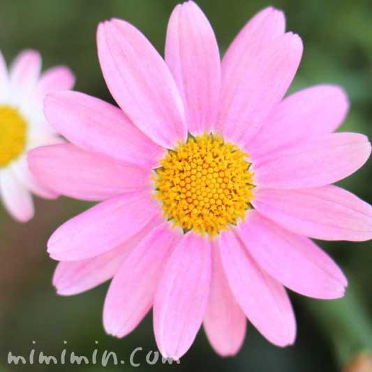 ピンク色のマーガレットピンク色のマーガレットの花の写真