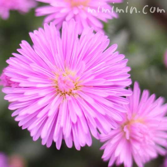 クジャクソウ・孔雀草(ピンク色)の花の画像