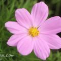 秋桜・コスモス(ピンク)の写真