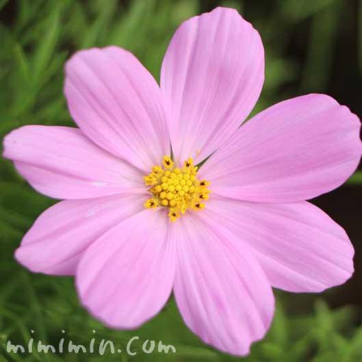 ピンク色の秋桜の写真