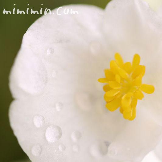 ベゴニア センパフローレンスの花の写真