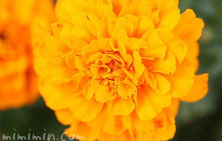 マリーゴールド(オレンジ色)の画像