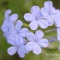 ルリマツリ(ブルー)の写真