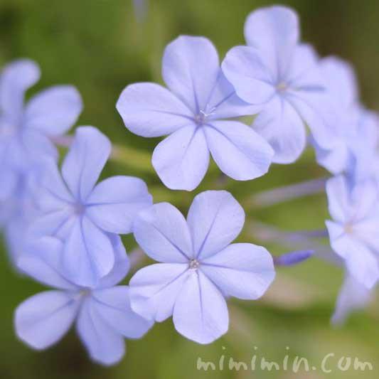 ブルーのルリマツリの花の画像