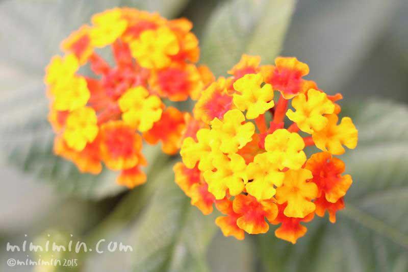ランタナの花(オレンジ色)の画像