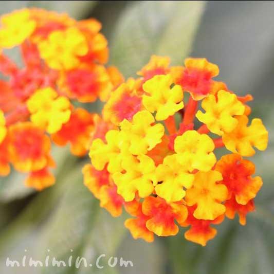ランタナ(オレンジ色)の画像