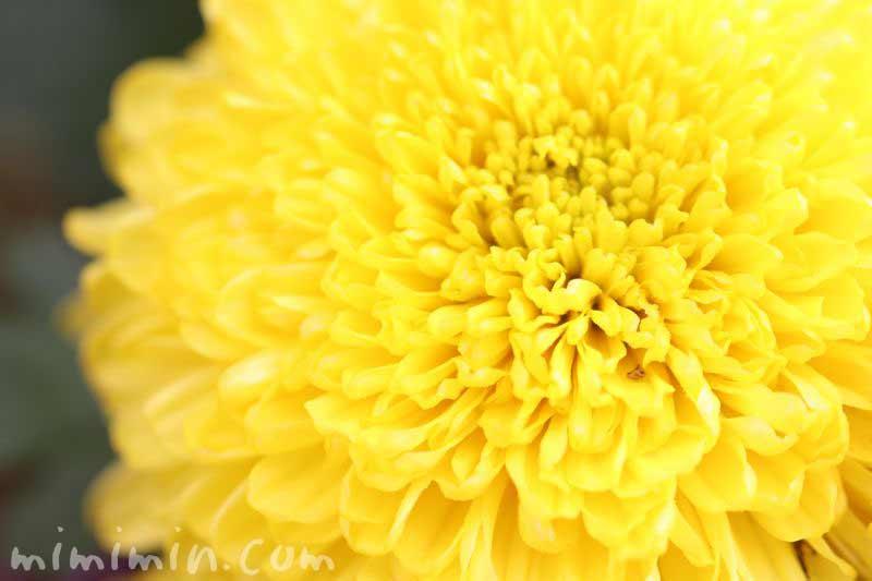 キクの花 黄色の画像