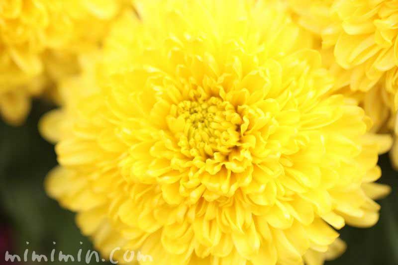 黄色いキクの画像