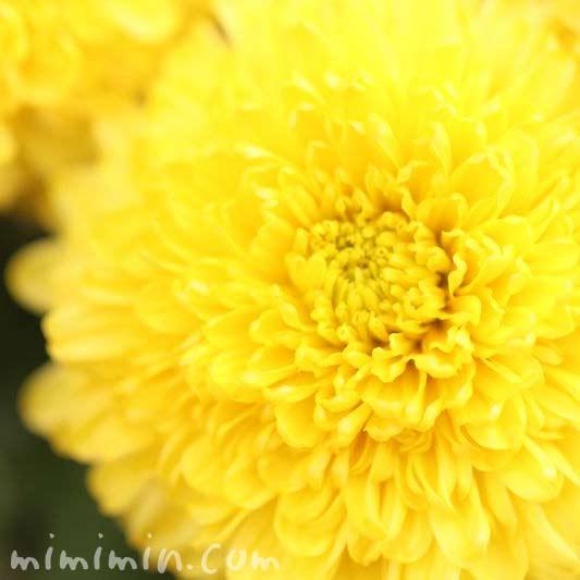 キク 黄色の画像