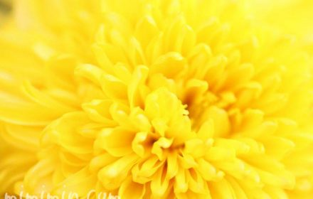 黄色い菊の花の写真
