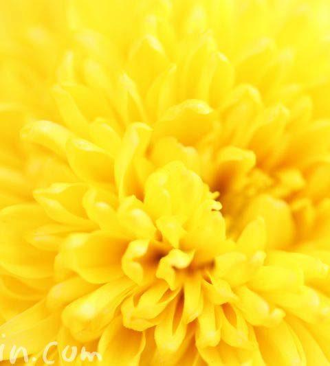 キク(菊)の写真・花言葉・名前の由来