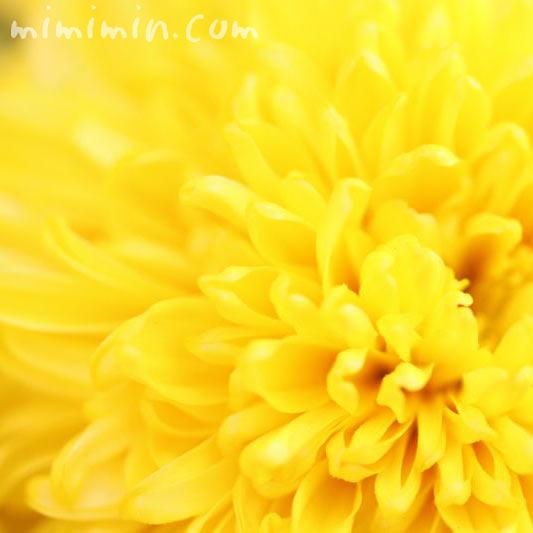 菊の花 黄色の画像