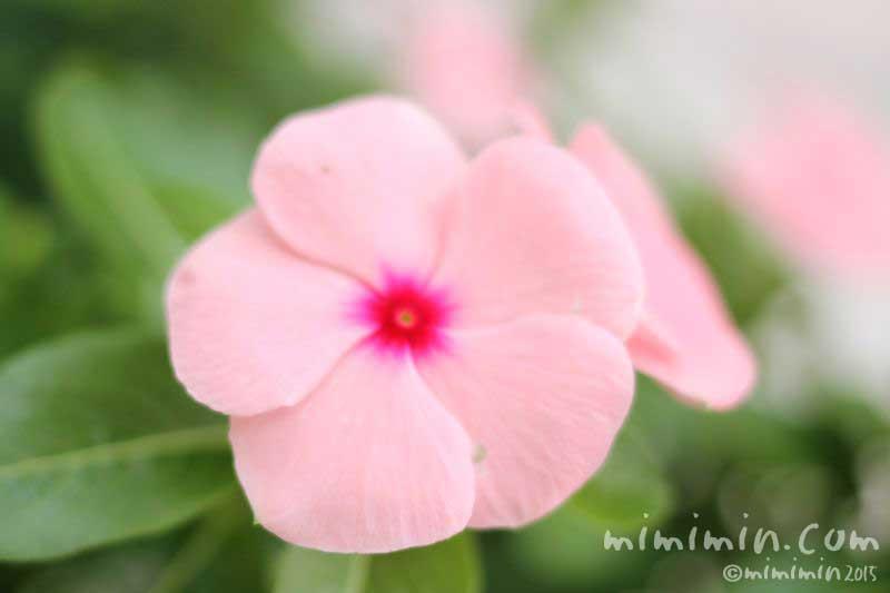 ニチニチソウ(薄ピンクの日々草)の画像