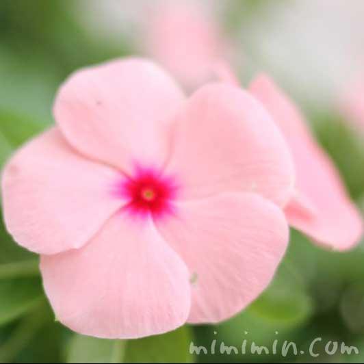 ニチニチソウ(薄ピンク)の写真