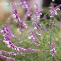 サルビアレウカンサの花の写真と花言葉の画像