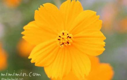オレンジ色の黄花コスモスの花の画像
