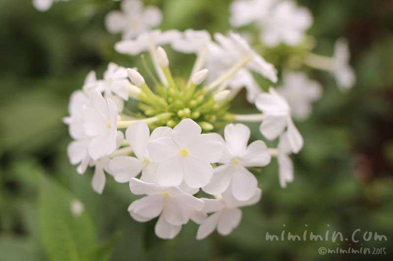 白いフロックスの花の写真