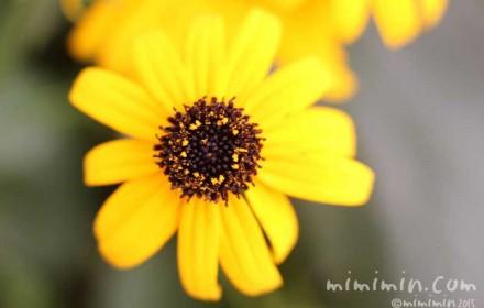 ジャノメギク・蛇の目菊の写真